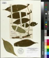 Image of Fraxinus platypoda