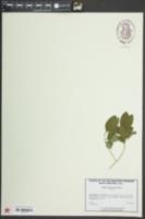 Forestiera ligustrina image