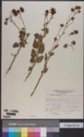 Encelia canescens image