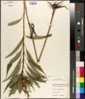 Helianthus grosseserratus image