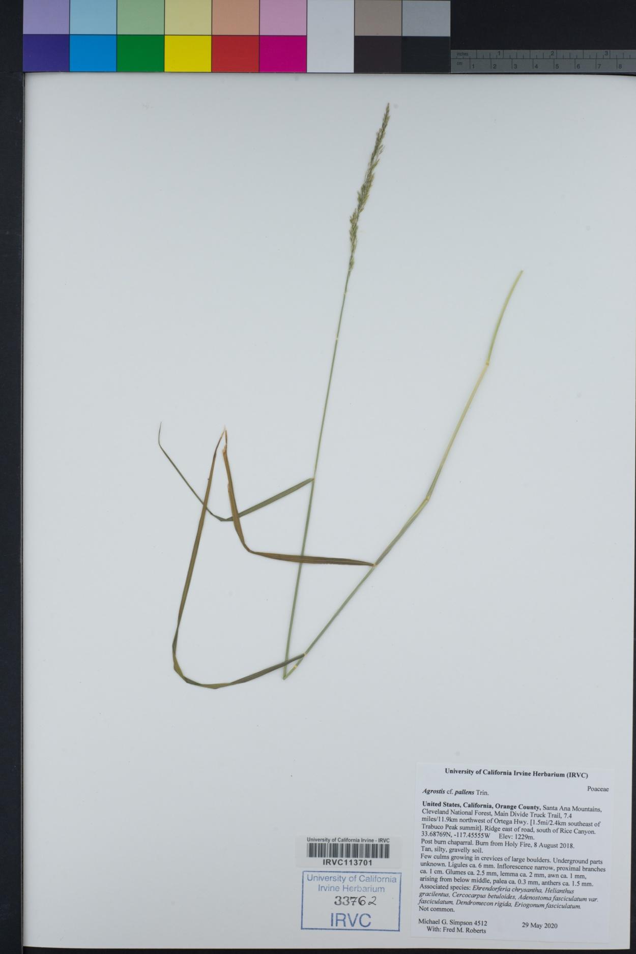 Poaceae image