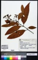 Image of Nectandra rigida