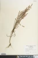 Image of Salicornia bigelovii