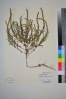 Ambrosia bidentata image