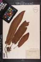 Scolopendrium vulgare image