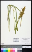 Image of Glyceria obtusa