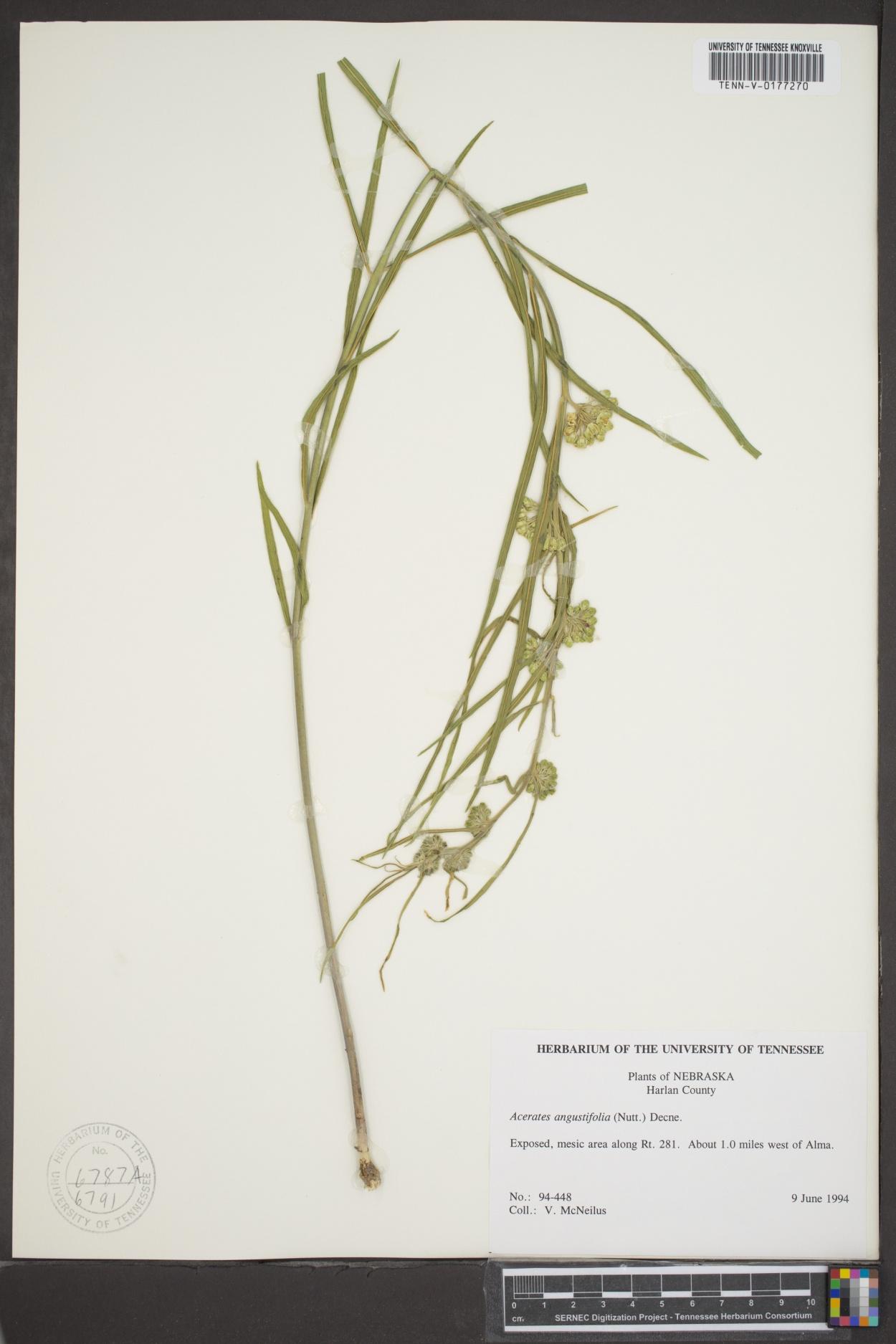 Acerates angustifolia image