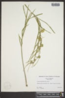Image of Acerates angustifolia