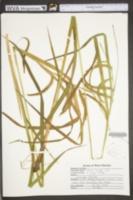 Carex crinita image