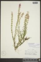 Dicerandra densiflora image
