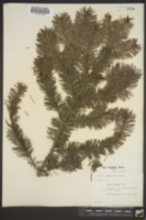 Image of Abies holophylla