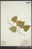 Image of Dioscorea jaliscana