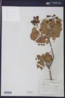 Amyris elemifera image