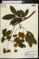 Image of Harpullia pendula