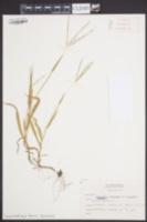 Digitaria ischaemum var. ischaemum image