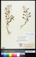 Rorippa floridana image