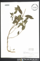 Image of Mentha × piperita