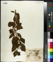 Image of Vassobia breviflora