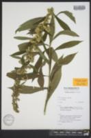 Image of Solidago lancifolia