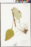 Helianthus silphioides image