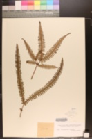 Image of Dicranopteris flexuosa