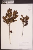 Ilex coriacea image
