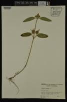Prunella vulgaris image