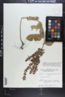 Scutellaria ovata image