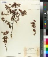 Image of Cassia clarensis