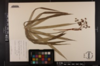 Image of Coccothrinax argentea