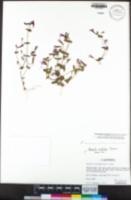 Erythranthe acutidens image