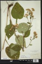 Eurybia macrophylla image