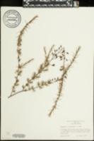 Hypericum lissophloeus image