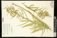 Asclepias hirtella image