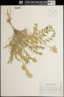 Image of Oxytropis pinetorum