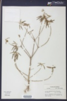 Image of Croton miquelensis