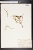 Image of Lastarriaea chilensis