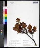 Morella pensylvanica image