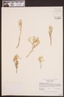 Selaginella tortipila image