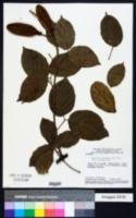 Image of Amphilophium elongatum