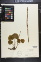 Galax aphylla image