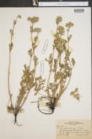 Potentilla pensylvanica var. pensylvanica image