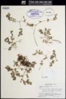 Peperomia tetraphylla image