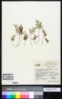 Image of Gaga angustifolia