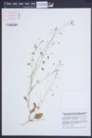 Image of Savignya parviflora