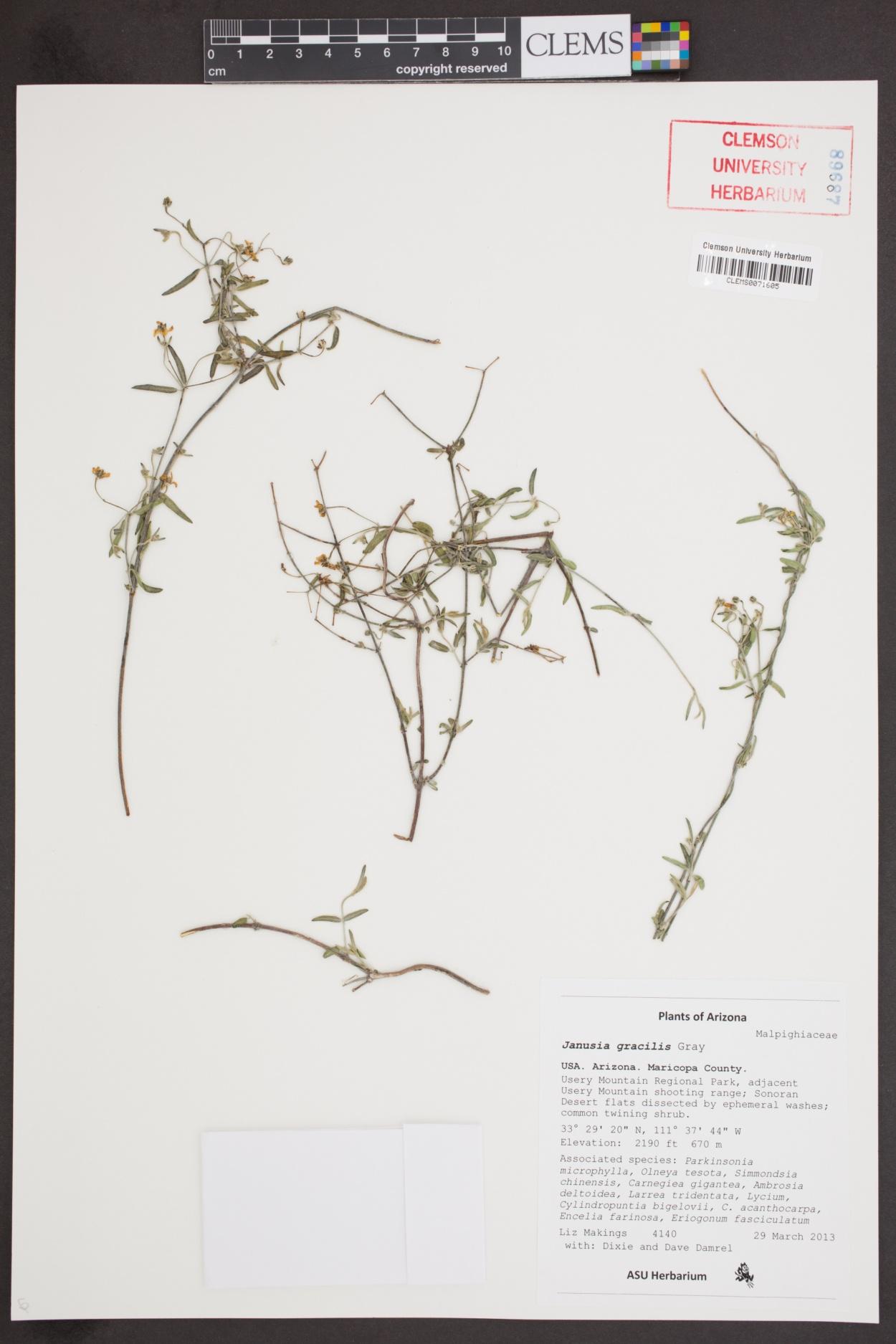 Janusia gracilis image