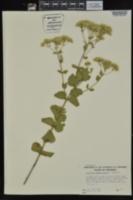 Eupatorium rotundifolium image
