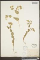 Bupleurum rotundifolium image