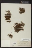Didymoglossum punctatum image