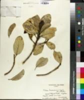 Image of Pelea hawaiensis